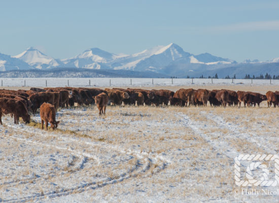 Cattle eating silage in winter