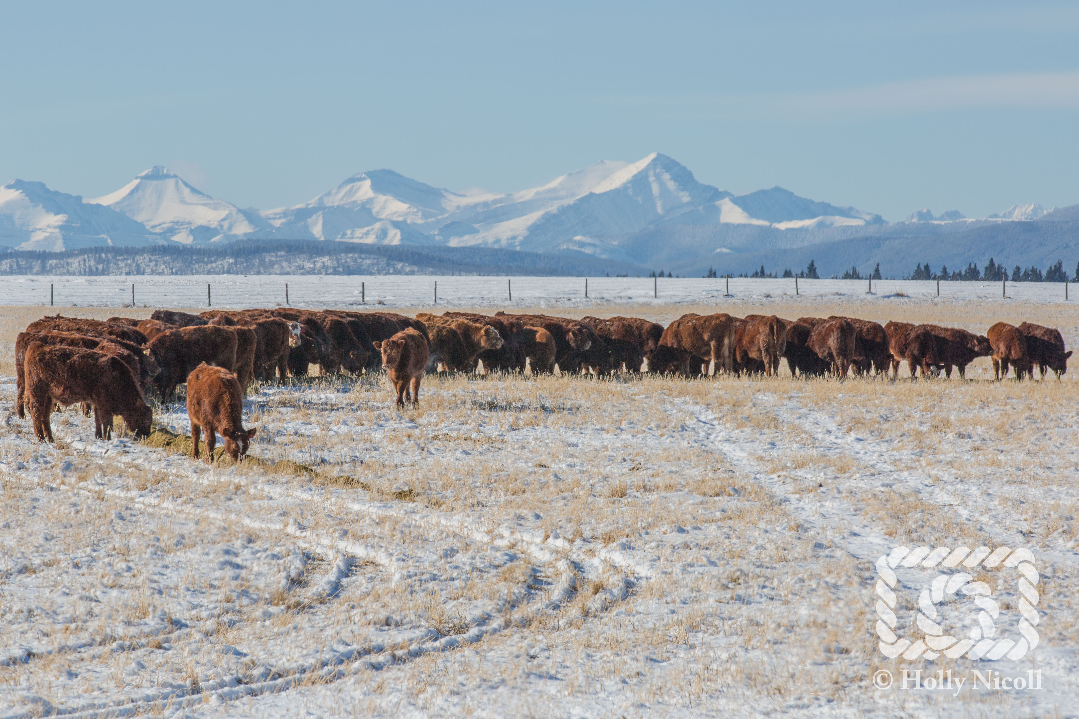 A herd of cattle eat silage on a snowy pasture with mountains in the background.