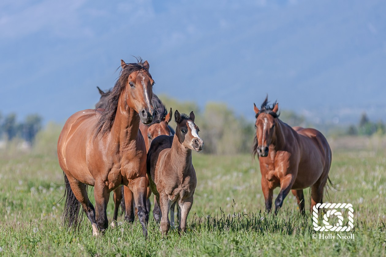 Remuda boss mare leads a herd of Quarter Horse mares and foals
