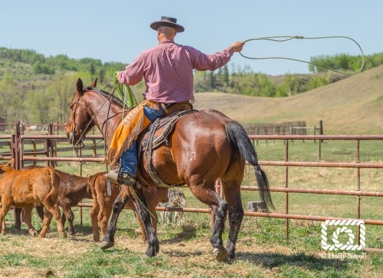 Roping Calves at Branding