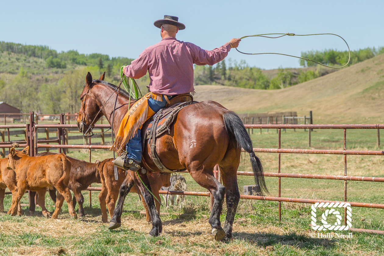 A cowboy rides his horse next to a fence and readies his lasso to rope a brown calf.