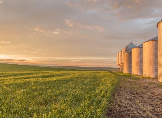 Barley crop grows beside a row of grain bins