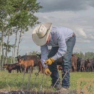 A cowboy grabs a branding iron out of the fire for the next calf to brand.