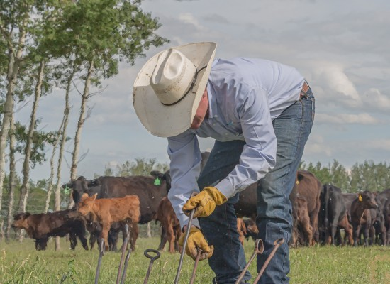 Cowboy grabs a branding iron out of the fire for the next calf to brand