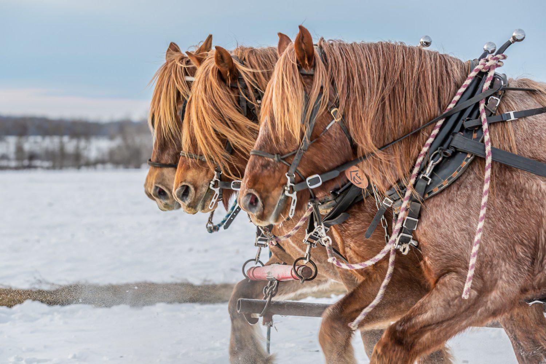 Belgian horse draft team