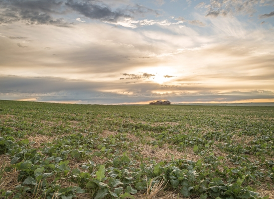 Canola crop just starting to cabbage with cloudy skies and bins in the background