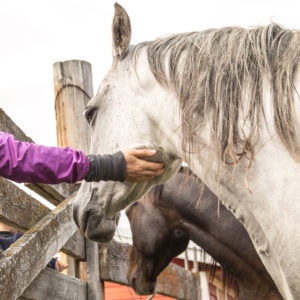 An arm reaches through a fence to scratch the chin of a white horse.