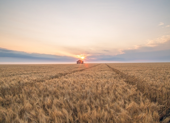 Photo of a sunrise over a wheat field with sprayer tracks and old wooden grain bin