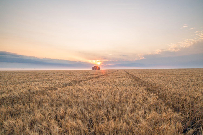 Sunrise over a wheat field with sprayer tracks