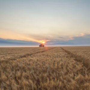 Sun rises over an old grain bin in a wheat field waiting to be harvested