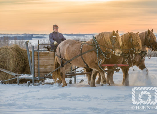 A team of Percherons pull sled that rolls out round bales to the cattle