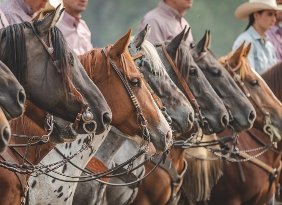 Cowboys line their horses up at the Bar U Ranch Rodeo as part of the Grand Entry.