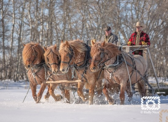 A team of four Belgian horses charge through the snow together feeding cows hay