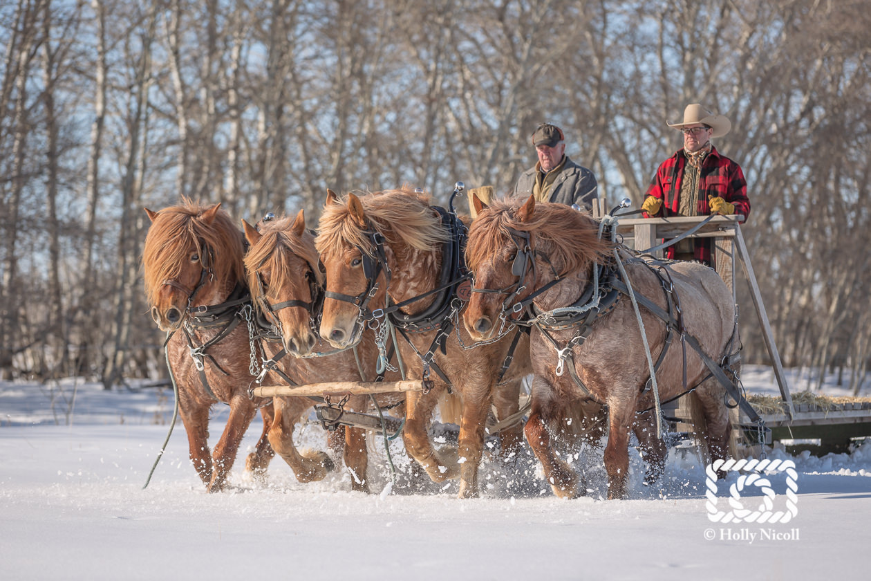 A team of four Belgian horses pull a sled through the snow