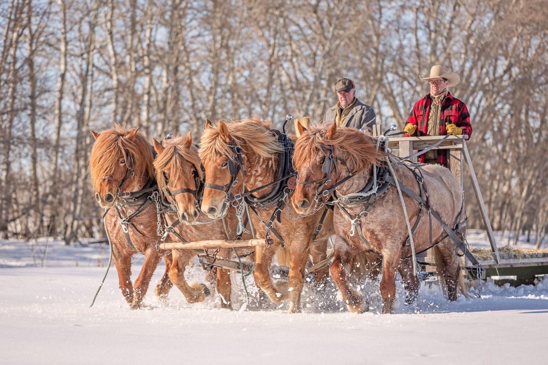 Four Belgian draft horses at work