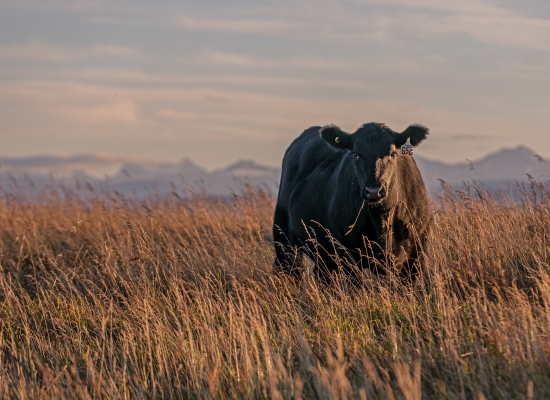 A black angus poses in the pasture with a piece of grass hanging out of her mouth.