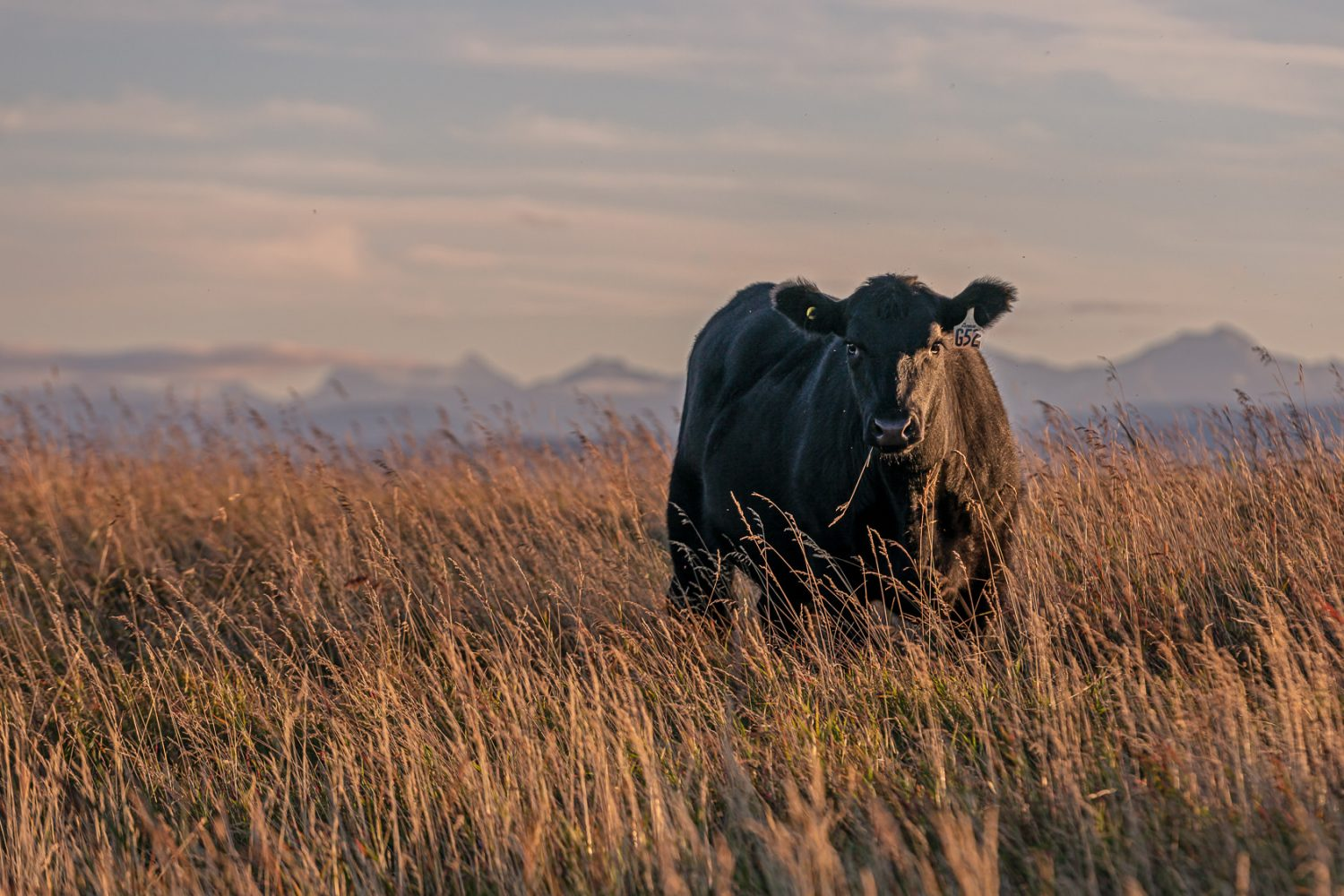Black angus heifer stands in the pasture with the mountains in the background